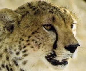 Cheetah Safari Honeymoons