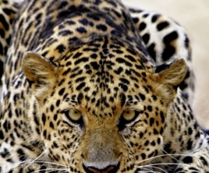Leopard Safari Honeymoons